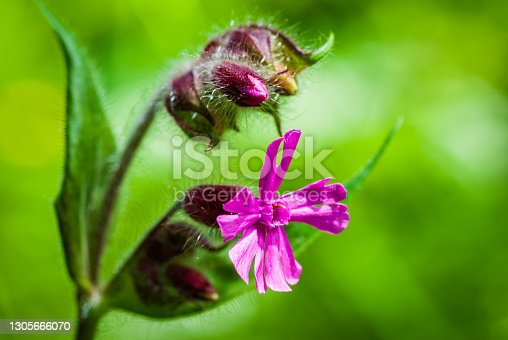 istock Pelargonium Flower - Genus of Plants of the Geranium Family. 1305666070