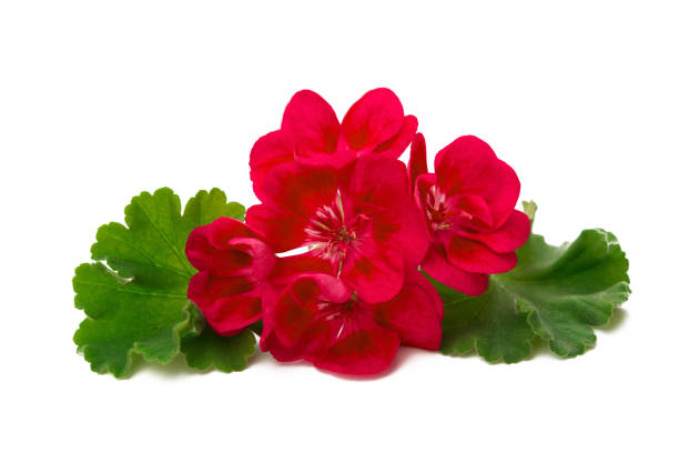 Pelargonium flower isolated on white background stock photo