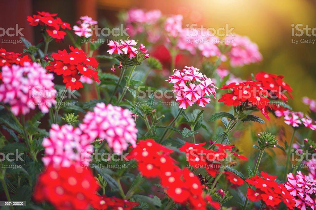 Pelargonium Blumen – Foto