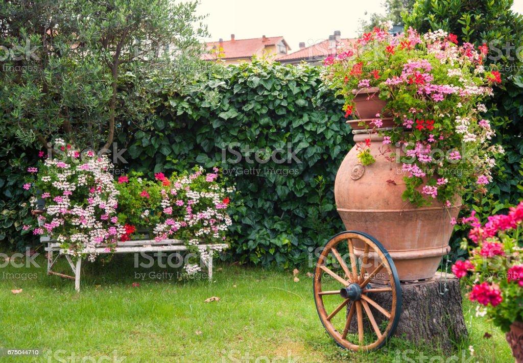 Pelargonium Geranium blooming in the garden - foto stock