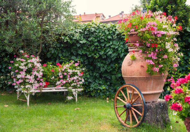 Pelargonium Geranium blooming in the garden stock photo
