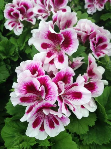 Pelargonium geranium flowers picture id982020318?b=1&k=6&m=982020318&s=612x612&w=0&h= gfrfqir  xfheesq7llwqplqpbvqb2ty jv 82h0ea=