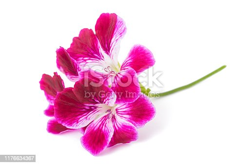 Pelargonium grandiflorum Imperial isolated on white background