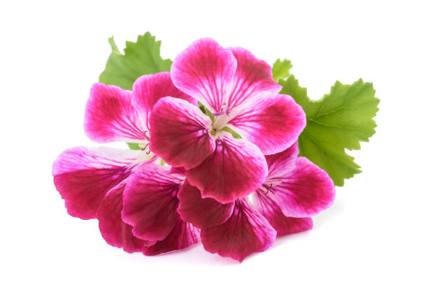 Pelargonium grandiflorum Imperial stock photo