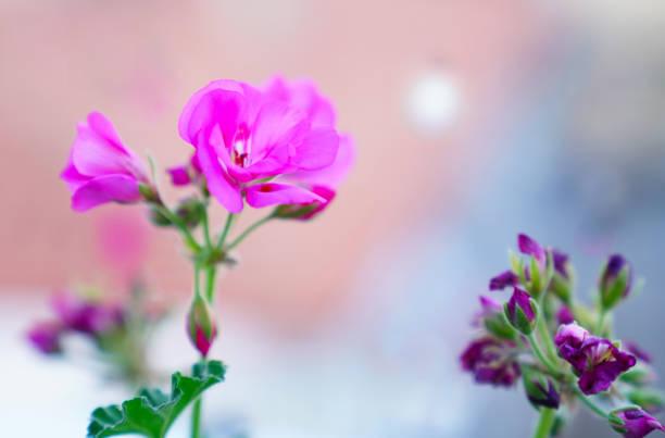 Pelargonium graveolens plant with pink flowers rose geranium picture id957065390?b=1&k=6&m=957065390&s=612x612&w=0&h=ecvx8wqf9rc2sdkq9ounc2f t mae3l6u1ihuyvfgbi=