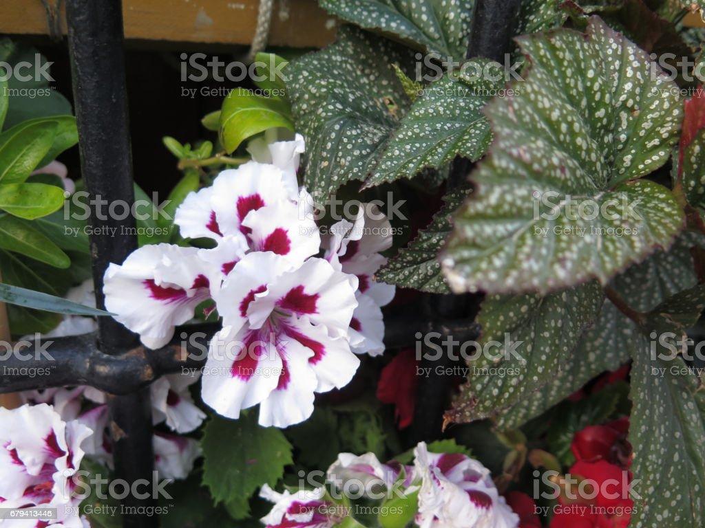 Pelargonium in window box royalty-free stock photo