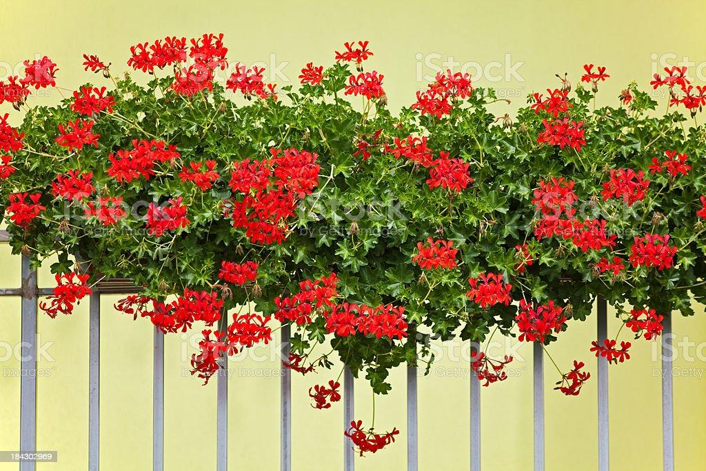 Pelargonium Often Called Geranium XXXL royalty-free stock photo
