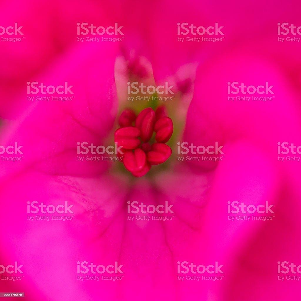 Pelargonium Peeking stock photo