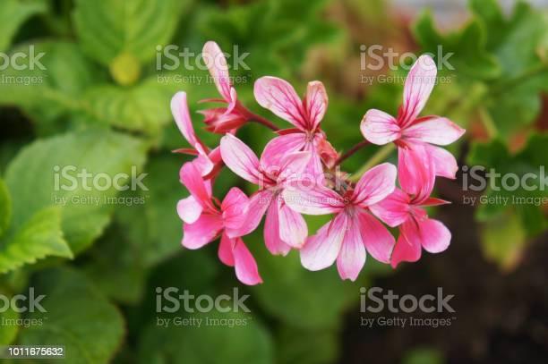 Pelargonium peltatum or ivyleaf geranium or cascading geranium pink picture id1011675632?b=1&k=6&m=1011675632&s=612x612&h=gc  magnlmwjffcxk9gyqgcfru4hyn0m0c2l0t kjmu=