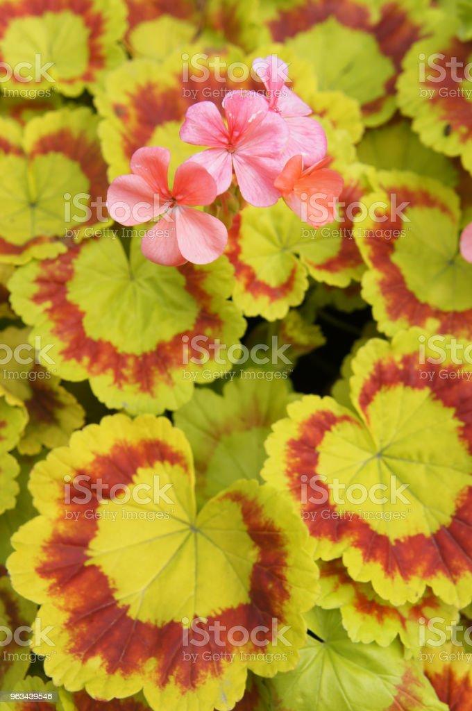 Pelargonium zolone żółte i czerwone liście z czerwonymi kwiatami na tle - Zbiór zdjęć royalty-free (Bez ludzi)