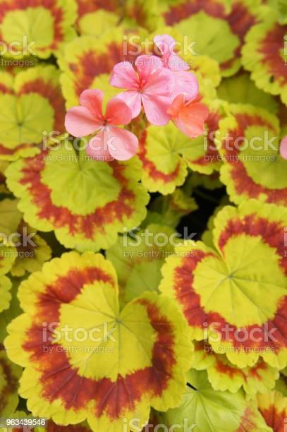 Pelargonium Zolone Żółte I Czerwone Liście Z Czerwonymi Kwiatami Na Tle - zdjęcia stockowe i więcej obrazów Bez ludzi