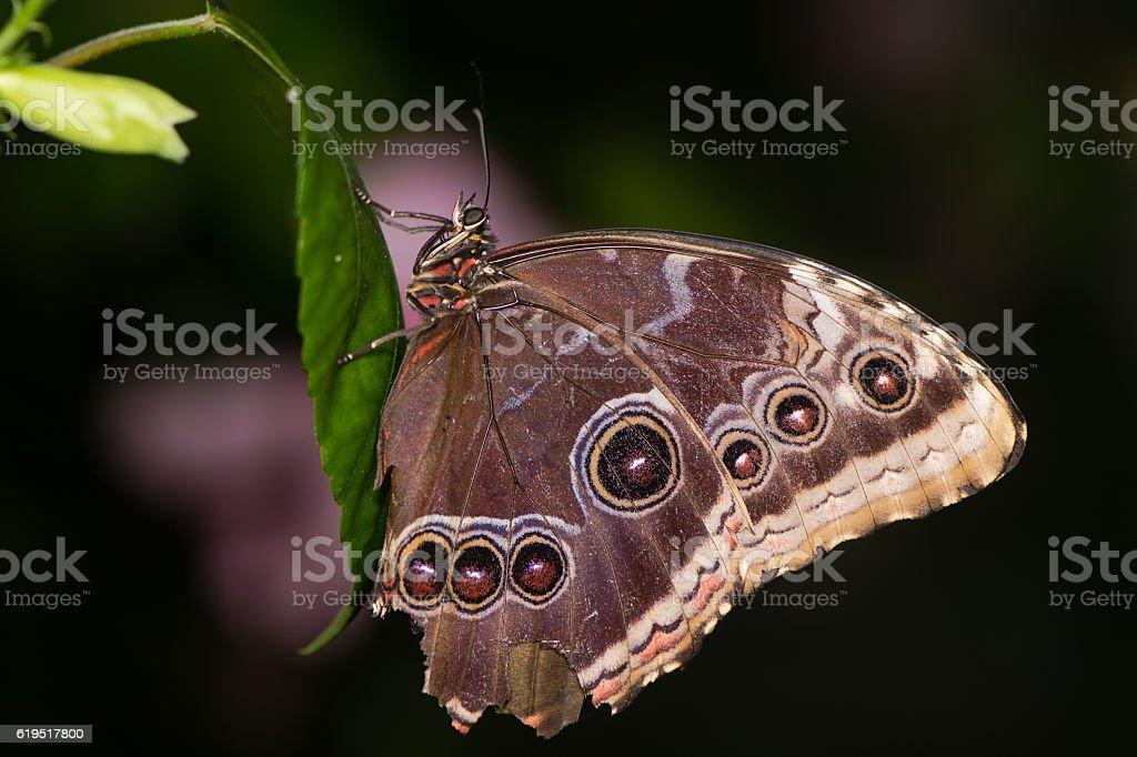 Peleides Blue Morpho (Morpho peleides) butterfly underside stock photo