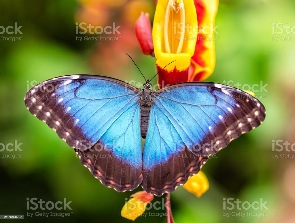 Peleides Blue Morpho on flower blossom stock photo
