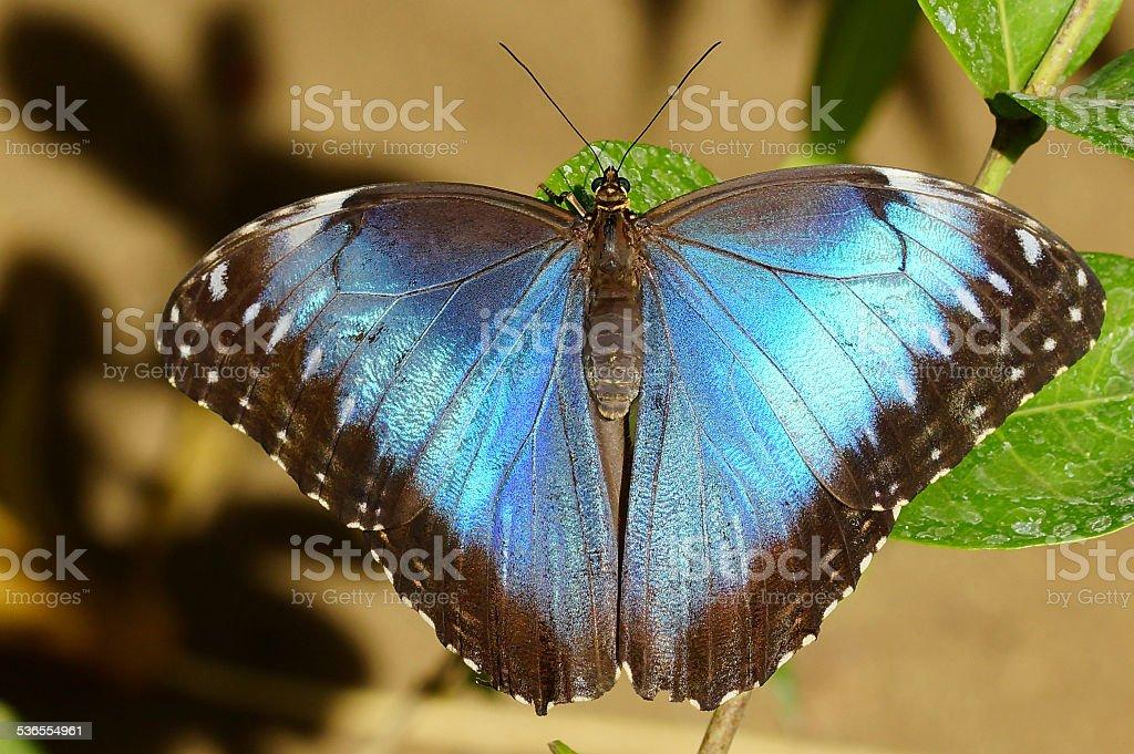 Peleides blue morpho stock photo