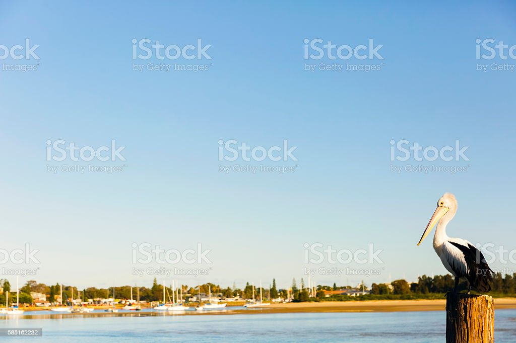 Pelican and coastal town Port Macquarie, copy space stock photo