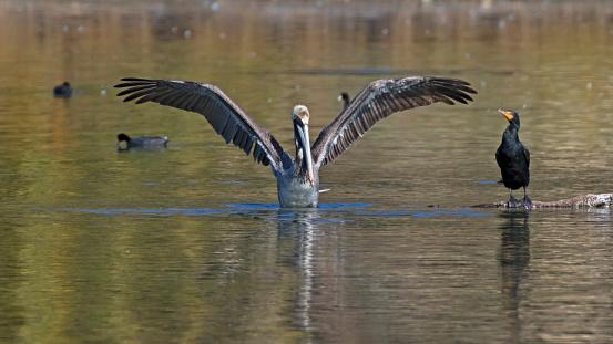 istock Pelican and cormorant at Malibu Lagoon 926699994
