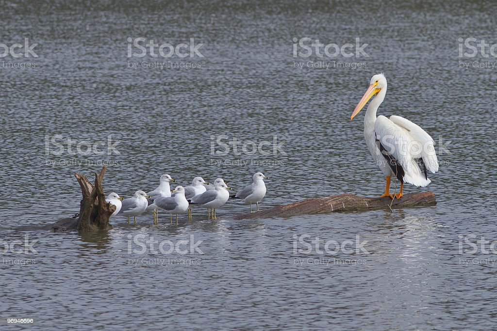 Pelican and Gulls on Log royalty-free stock photo