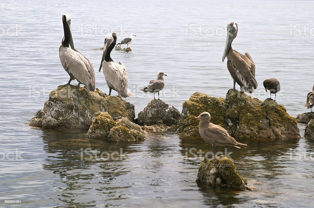 Pelican (Pelecanus onocrotalus et oiseaux marins photo libre de droits