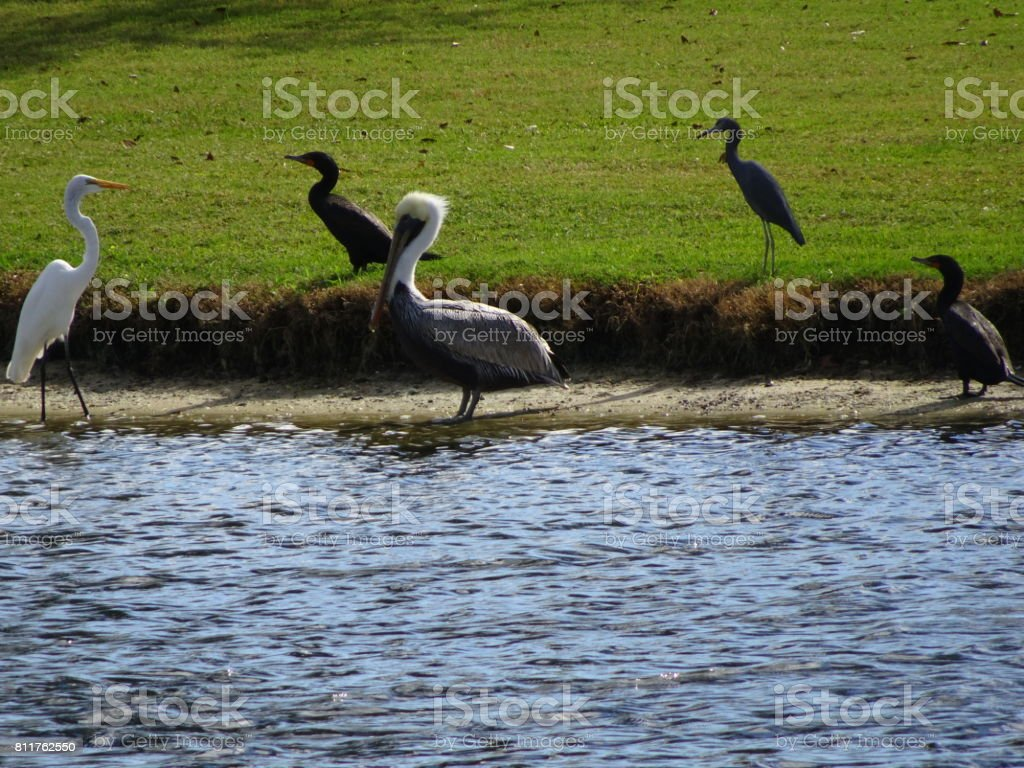 pelican and other swamp birds stock photo