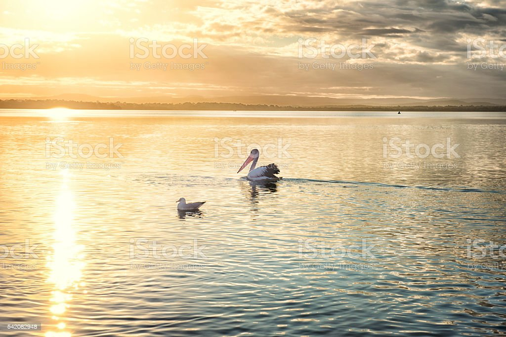 Pelican and seagull in the lake at sunset stock photo