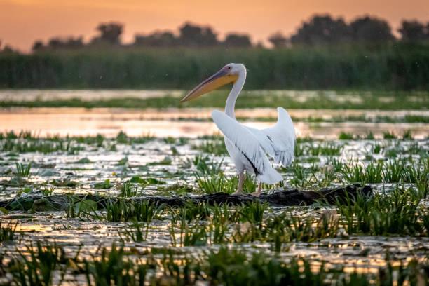 Pelican at sunrise in the Danube Delta, Romania stock photo
