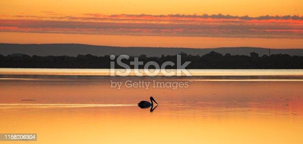 Australian Pelican cruises along in an estuary