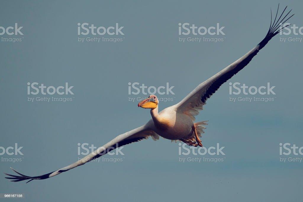 Pelican fågel flygande - Royaltyfri Djur Bildbanksbilder
