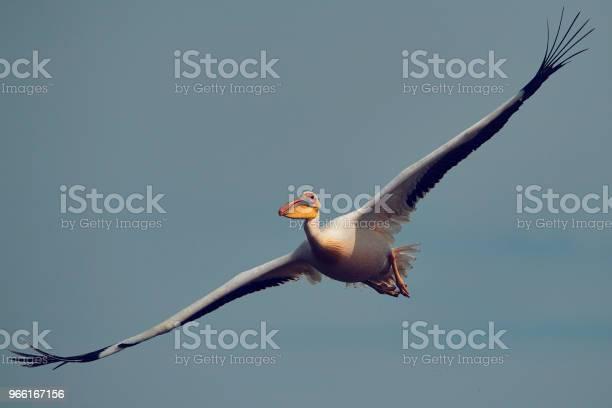 Pelican Fågel Flygande-foton och fler bilder på Djur