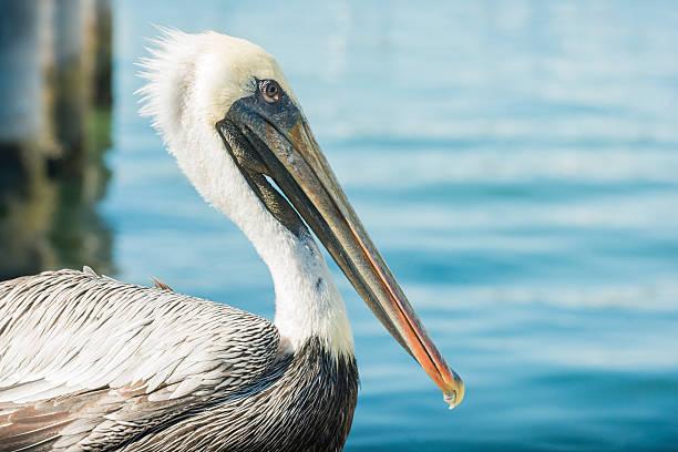 pelican bird sitting by water in haulover marina miami florida - пеликан стоковые фото и изображения