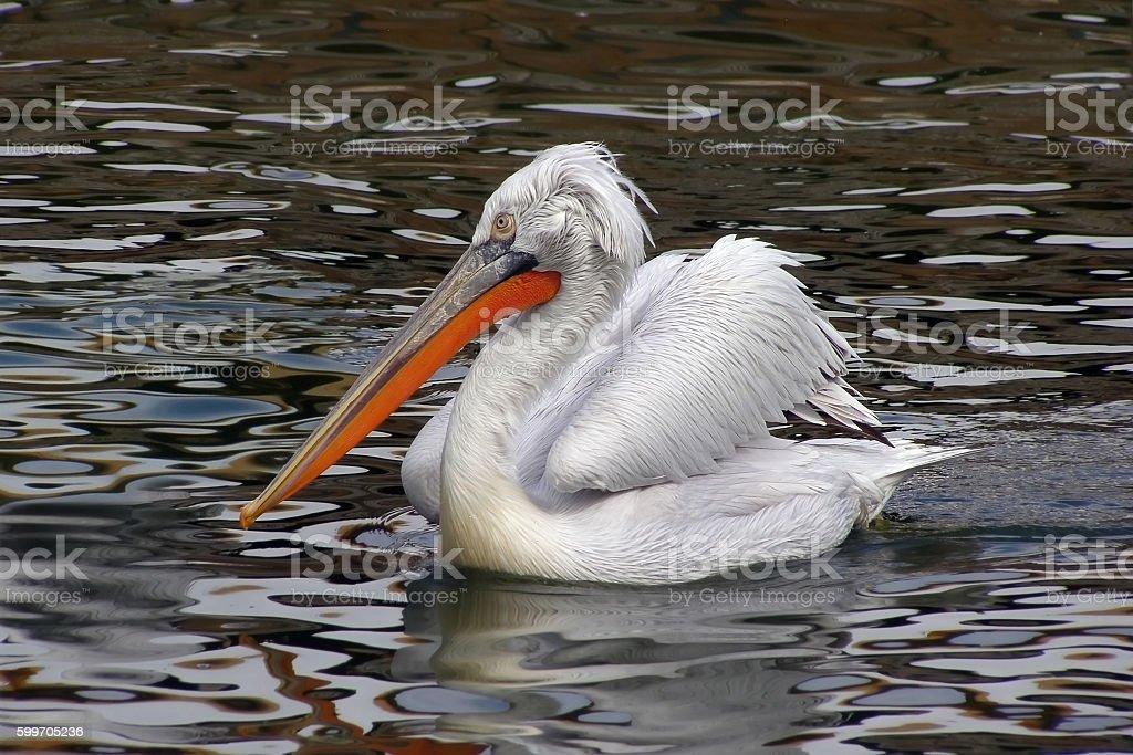 Pelican bird swimming in the water stock photo
