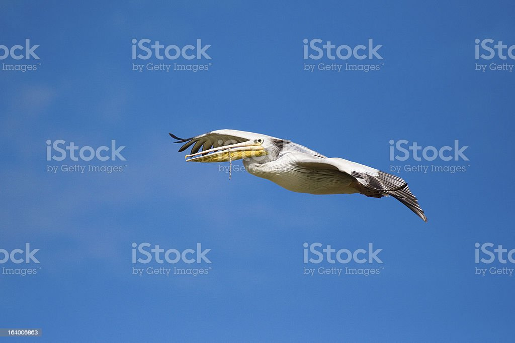 Pelican carrying nesting material Mkuze Game Reserve South Afric stock photo
