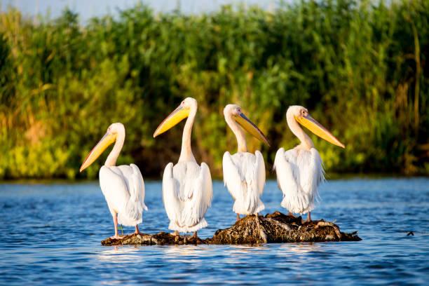 Pelican colony in Danube Delta Romania stock photo