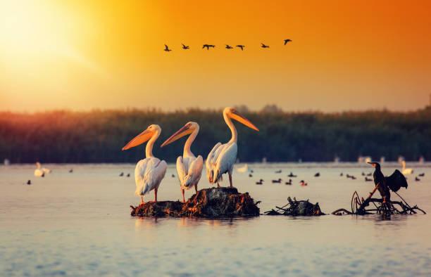 Pelican colony in Danube Delta Romania. Sunset stock photo