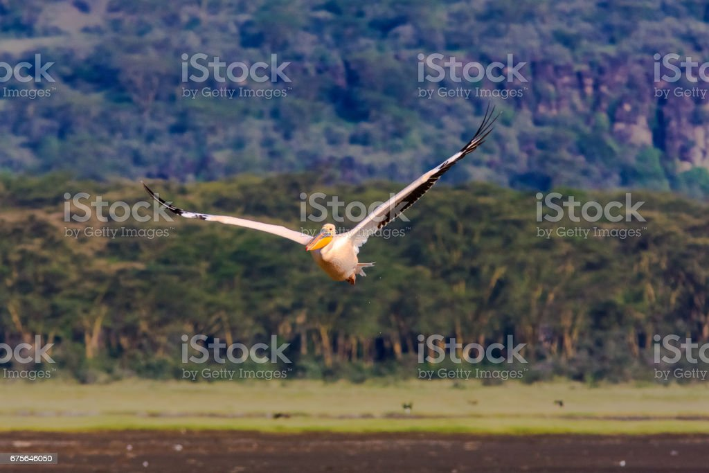 Pelican coming in to land. Kenya, Africa royalty-free stock photo