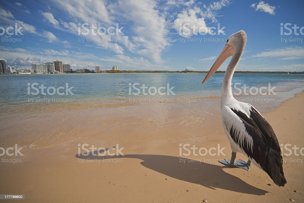 Pelican Dreaming of a Holiday stock photo