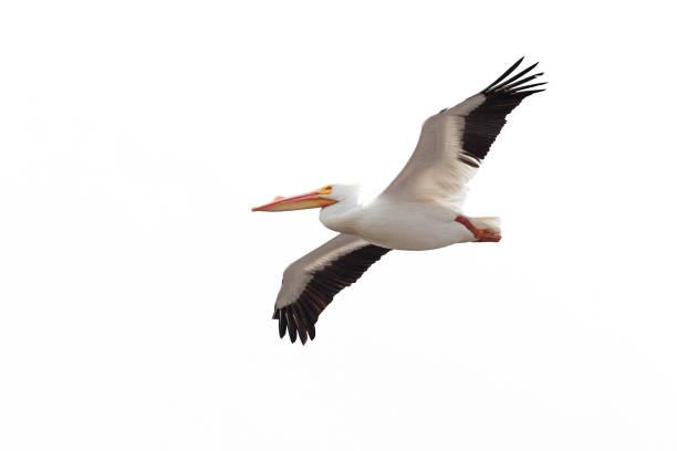 pelican drifts across the sky - пеликан стоковые фото и изображения