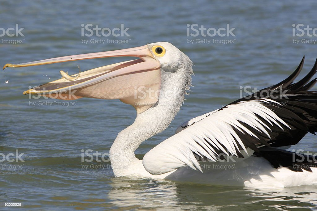 Pelican Eating a Fish stock photo