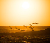 Pelican flock in formation, close to Vina del Mar in the evening