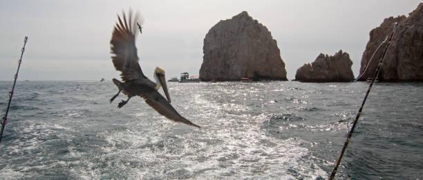 Pelikan fliegen hinter Charta Angeln Boot bei Lands End in Cabo San Lucas in Baja California Mexiko BCS – Foto
