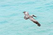 Close up of a flying pelican, Sanibel Island, Florida