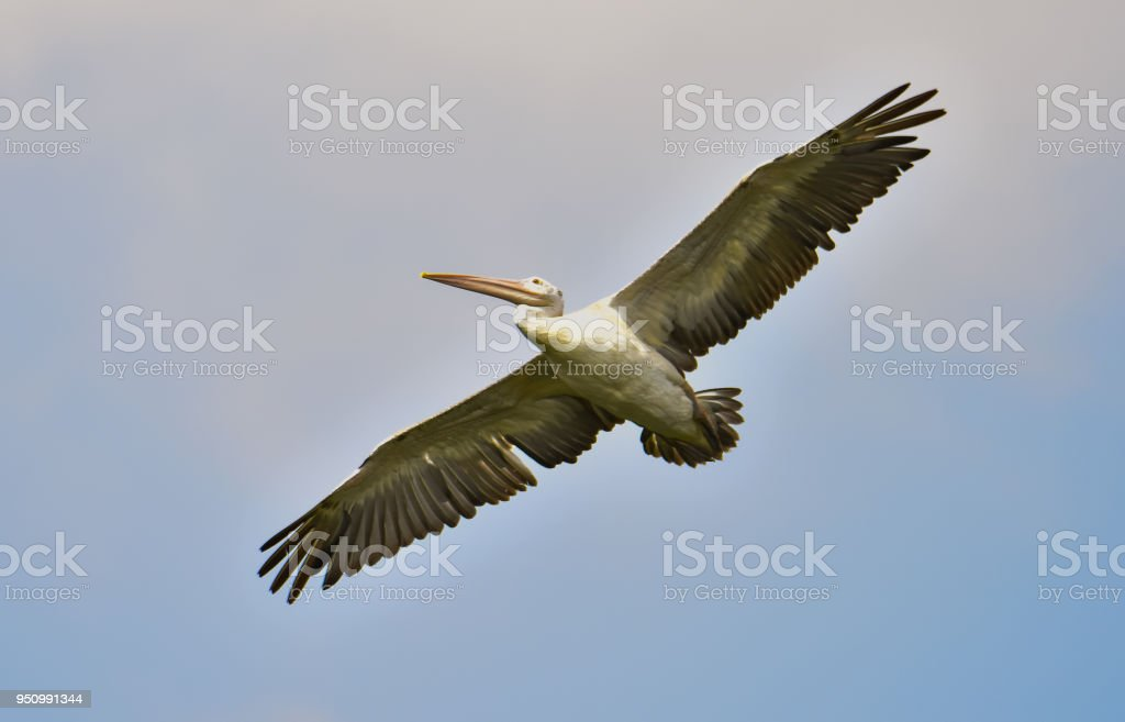 Pelican Flying In The Mid-Air stock photo
