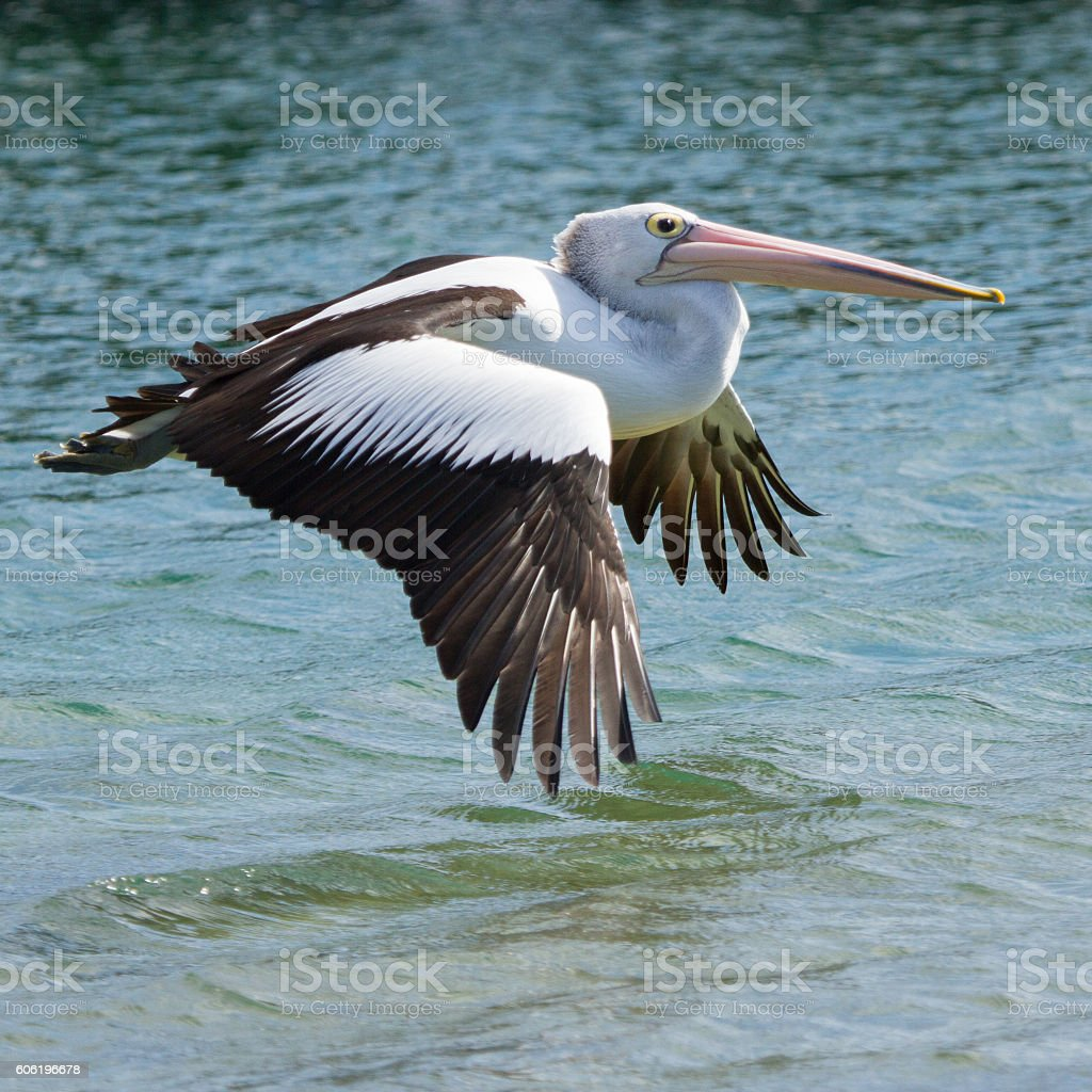 Pelican Flying Low stock photo
