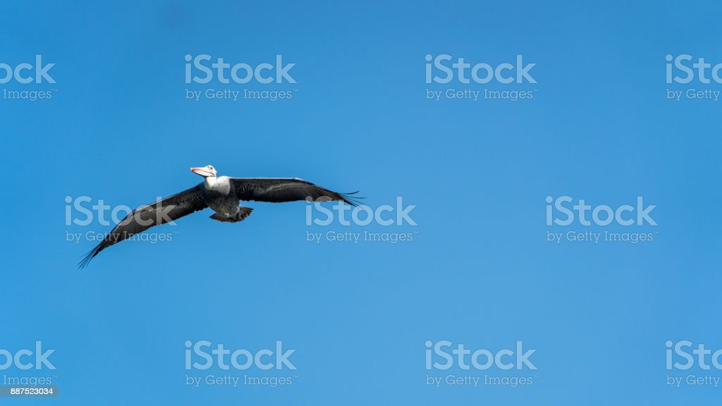 Pelican flying over Paracas National Park in Ica, Peru stock photo