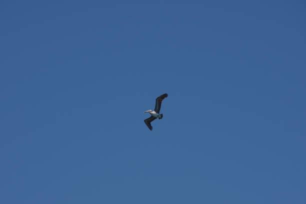 Pelican Flying stock photo