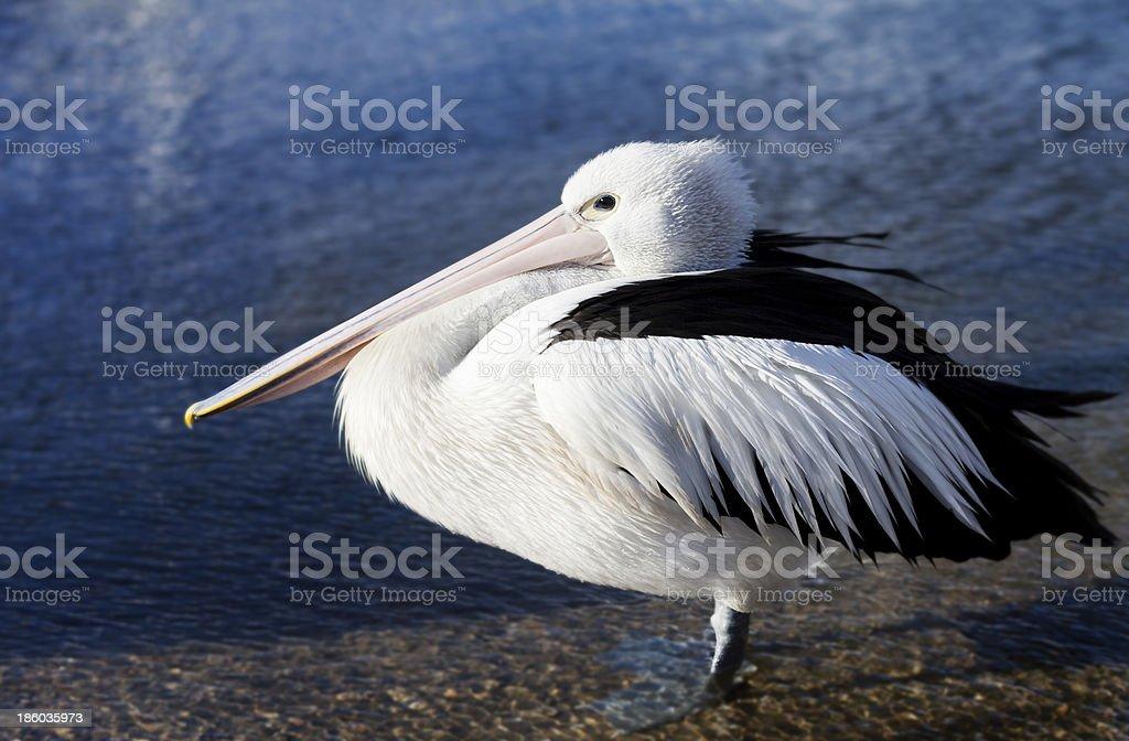 Pelican full body stock photo