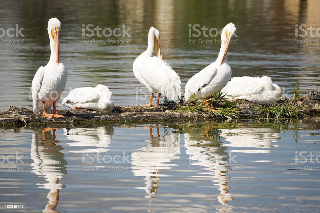 Pelican Group Birds Water Fowl Wildlife Standing Lake Klamath Oregon royalty-free stock photo