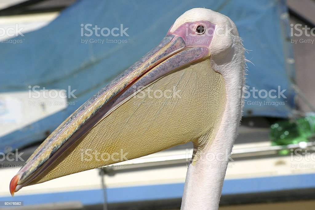 Pelican head royalty-free stock photo