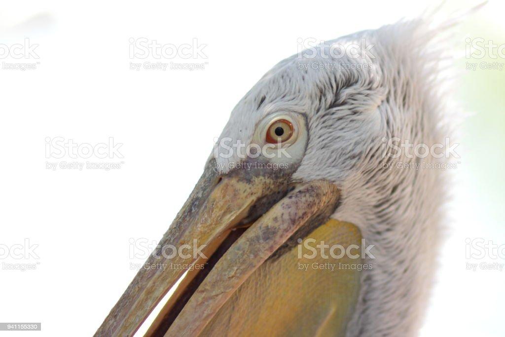 Pelican head, white bird with large yellow beak, animal protection,...