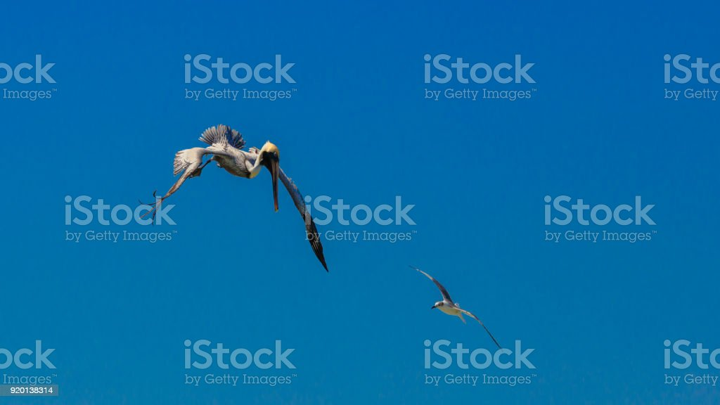 Pelican in a nosedive against blue sky  with tern, Florida stock photo