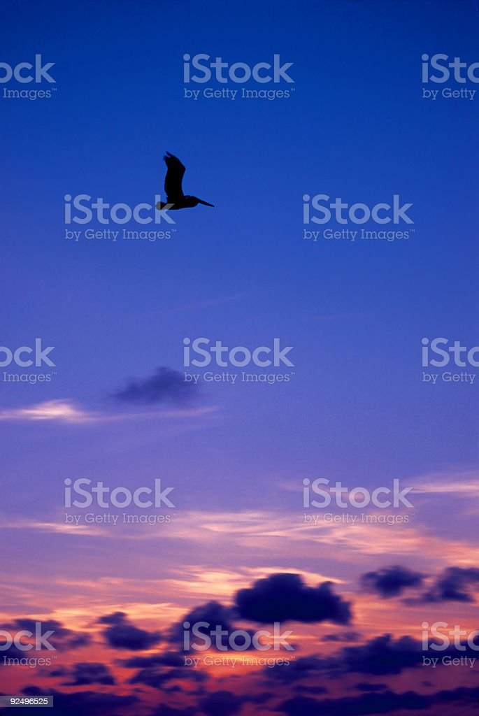 Pelican in flight at Sunset royalty-free stock photo